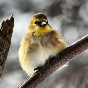 Cold, cold birds, poor things!! by Stacy Swenson - Animals Birds