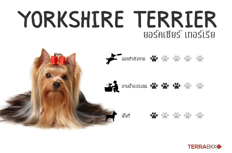 8. ยอร์คเชียร์เทอร์เรียร์ (Yorkshire Terrier)
