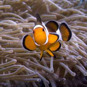Nemo Portrait by Daniel Sasse - Animals Fish ( marine, marinelife, plongee, ao nang, underwater, ecosystem, thailand, amphiprion ocellaris, krabi, photography, scuba, buceo, tauchen, diving, eco, biology )