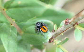 Photo: Philaeus chrysops  ARACHNIDA > Araneae > Salticidae