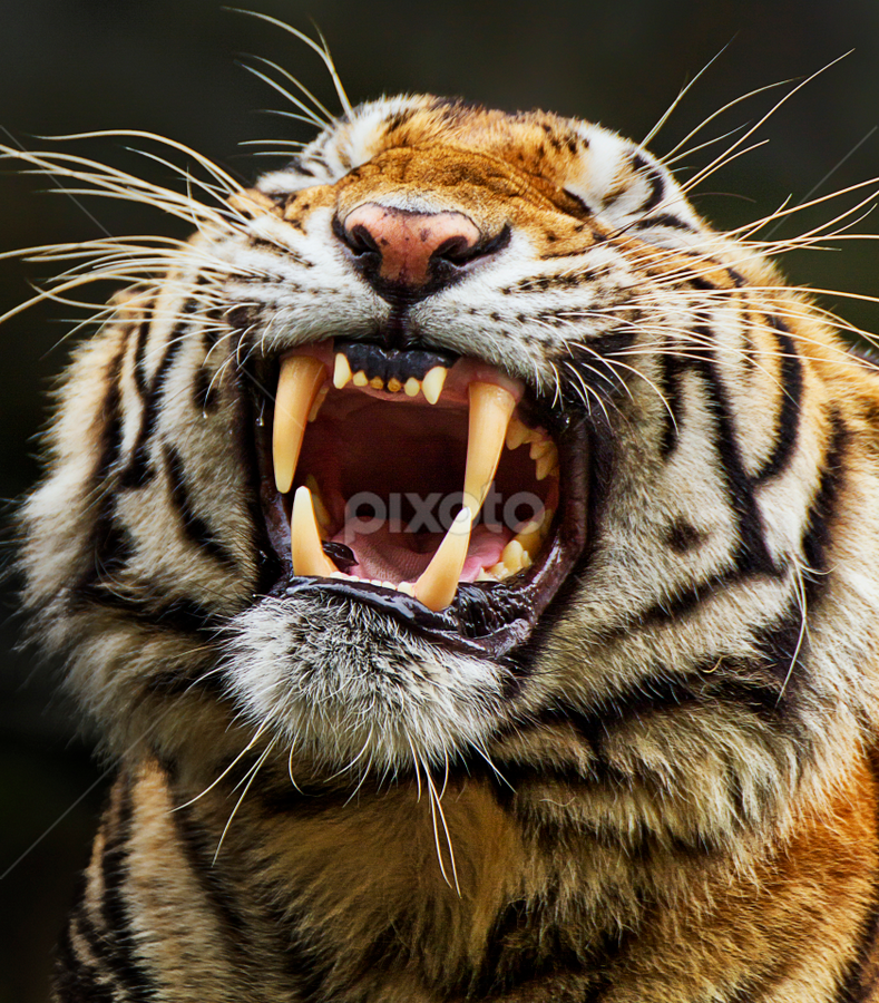 Sharp and Shiny by Charliemagne Unggay - Animals Lions, Tigers & Big Cats ( big cat, animals, tiger, teeth, mammal,  )