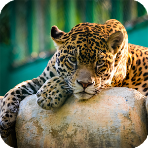 Jaguar animal wallpaper android apps on google play for Jaguar house music