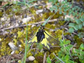 Photo: Ascalaphe soufré (Libelloides coccajus) Carrière de st-Cricq