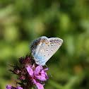 Blue-wing Butterfly