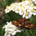 Orange Mint Moth