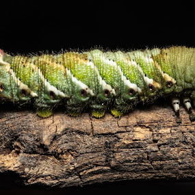 Horn worm by Jim Talbert - Animals Insects & Spiders ( macro, close up, horn worm, insect, larvae )
