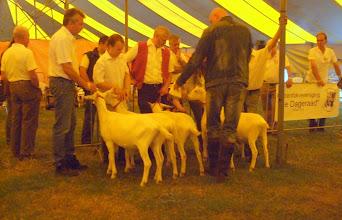 Photo: Rubriek 1: witte lammeren geboren tussen 25-2 en 9-4 2013.  1a. Maisy 38; 1b. Alba's Mariola 14; 1c. Anneke 10 vd Vriendsenhof;  2a. Alba's Mariola 12 en 2b. Alba's Mariola 13.