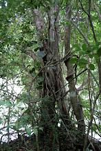 Photo: Kuristajapuu kasvoi toisen puun ympärillä (ja lopulta sisälle jääväpuu kuolee)