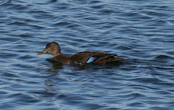 Photo: Another for #WhattheDuckMonday curated by +Phil Armishaw  This female American Black Duck was patrolling the water in Kempenfelt Bay on a cool Fall day.