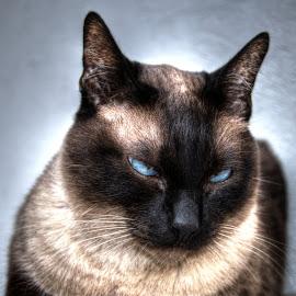 I don't care by Vedrana Vidovic - Animals - Cats Portraits ( siamese cat, nikon, cats, siamese, blue eyes )