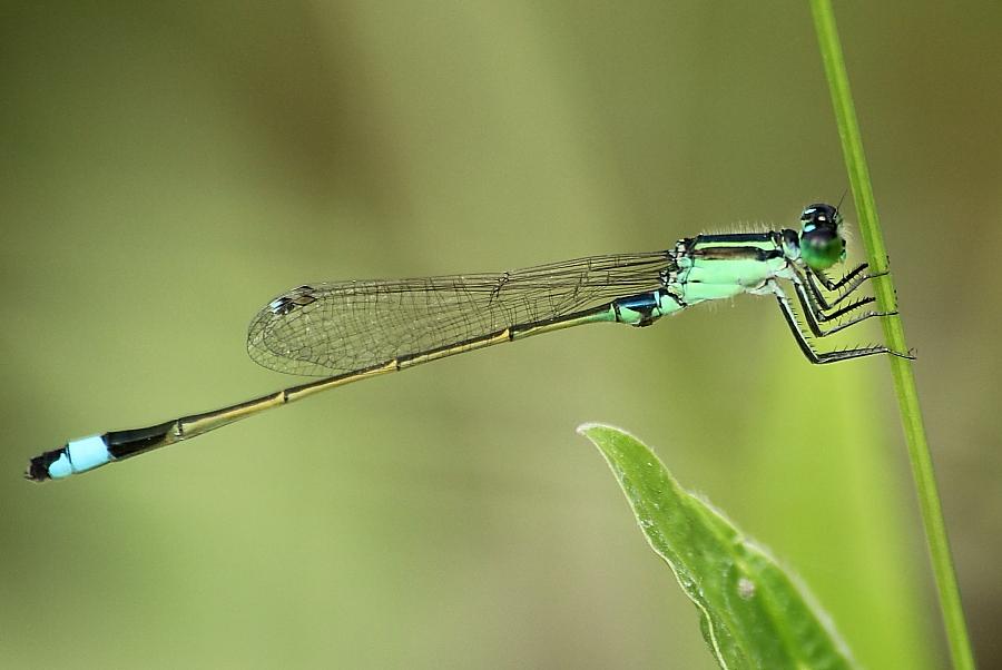 Senegal Bluetail