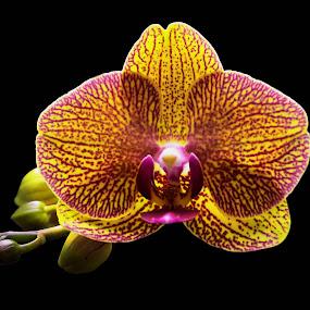 anggrek by Ignatius Kukuh - Nature Up Close Flowers - 2011-2013 ( angggrek, flowers )
