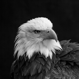 Eagle by Garry Chisholm - Black & White Animals ( raptor, bird of prey, nature, bald eagle, garry chisholm )