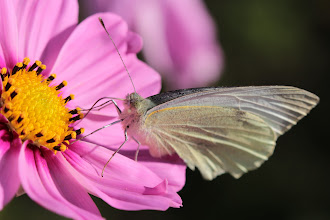 Photo: Hey, I was trying to take a photo of the Cosmos flower! I'm now getting photobombed by butterflies and I think this is a Large White (Pieris brassicae) (which rather completes my series of caterpillar, chrysalis and now adult), but sometimes they are hard to tell apart from the Small White, when you no longer have size reference, because as their names imply, one is larger than the other! Anyhow it just landed on the Cosmos and I had an extension tube on my macro lens, and I don't normally go butterfly hunting with that combination!  This will be my last post for a while as I'm off to Blighty - I may pop in, especially if it's raining, but don't expect much coherence from me using hubby's laptop with a French keyboard! Take care, everyone and see you again properly when I am back!