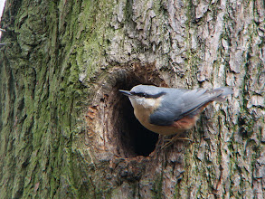 Photo: Nuthatch in Northcliffe Wood Shipley