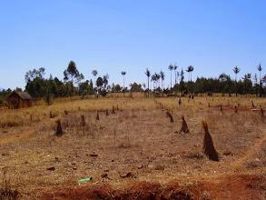 Photo: Premier hiver sur les ravintsara, juillet 2007
