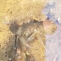 Vernal Pool Fairy Shrimp