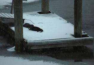 Photo: Woods Hole otters