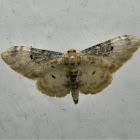 Idaea filicata moth