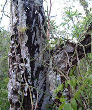Photo: 2003 Rotten tree trunk in Ironwood Forest, Grand Cayman, April 4, 2003