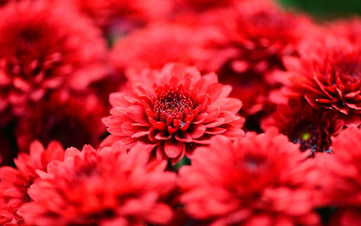 Red Flowers Live Wallpaper