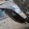 European black slug