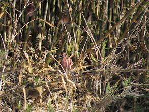 Photo: 撮影者:中村 后子 鳥名:ベニマシコ タイトル:ベニマシコ 観察年月日:2014/1/2 場所 北浅川・松枝橋上流 羽数:2羽 区分:希少 メッシュ:3B コメント:左岸笹薮の中でピンク色の動くものが見えたので双眼鏡でいたら紅色の雄が2羽いた。家に帰って写真を見たら雌1羽が写真に写っていた。