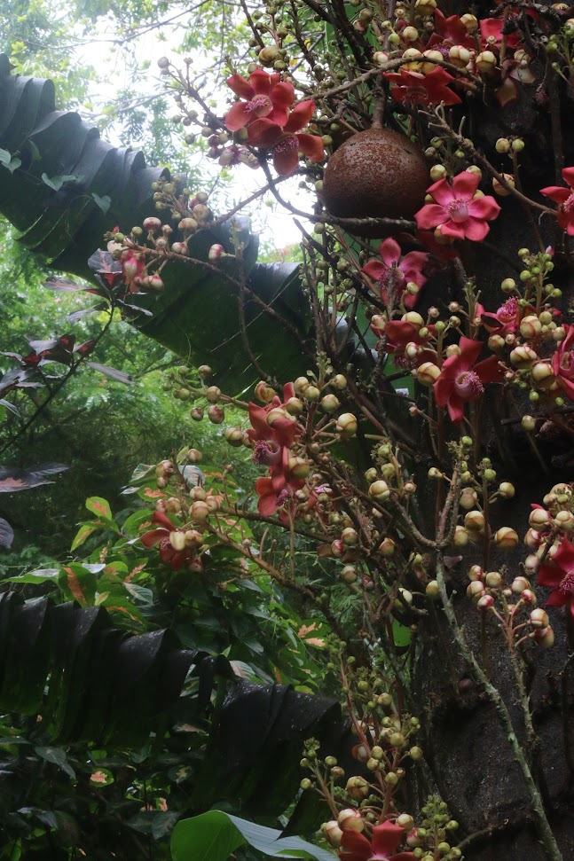 Hawaii Botanical Gardens - le féérique Cannonball Tree