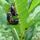Rutela Beetle