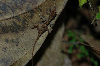 Photo: Norops polylepis 5, Esquinas Rainforest (8:42/-83:12), 19-05-2006, Author: Erwin Holzer, det. Gerardo Chaves