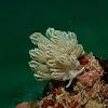 Xenia Coral Mimic Nudibranch