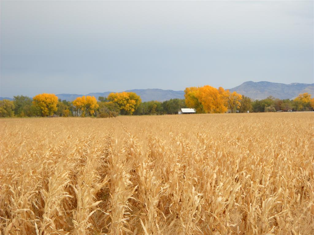 Photo: Corn and cottonwoods at Grand Junction.