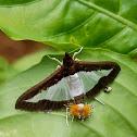 Cucumber moth female