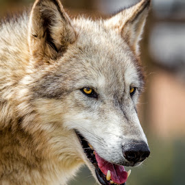 Gray Wolf by Dave Lipchen - Animals Other Mammals ( gray wolf )