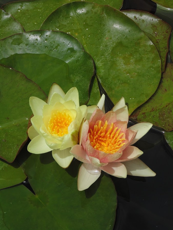 Companions by Valerie Sinkavich - Nature Up Close Flowers - 2011-2013 ( lotus, water features, serenity, meditation, beauty )