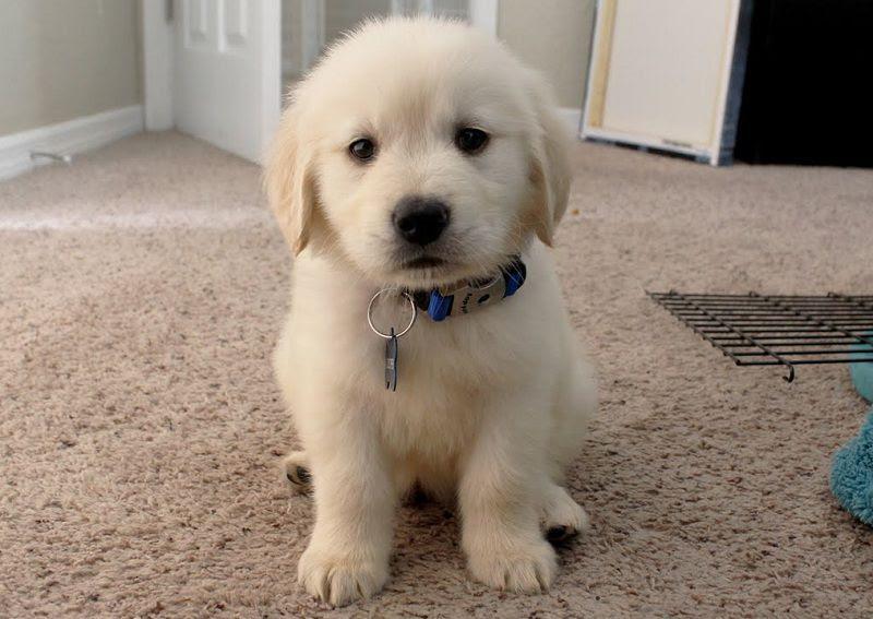 Harga anjing Golden Retriever.  Harga jual beli anakan Golden di Indonesia