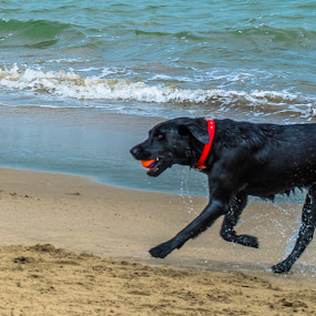 Dog on Beach by Luke Albright - Animals - Dogs Playing ( sand, beach, playing, dog, water, sea )