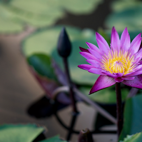Purple Water Lily by Beng Lim - Flowers Flower Gardens ( waterlily, nature, purple, green, plants, water lily, garden, floral, flower )