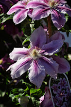 Photo: Clematis 'Bees Jubilee' 2