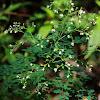 Meadow-Rues