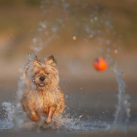 Running to a ring of water by Ruud Lauritsen - Animals - Dogs Playing ( cairnterrier, running at sea, running at sunset, lucky shot, cairn,  )