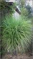Photo: Iarba decorativa (Miscanthus sisensis) de pe Str. Uranus - 2016.08.25 Album: http://ana-maria-catalina.blogspot.ro/2016/10/iarba-decorativa-miscanthus-sisensis.html