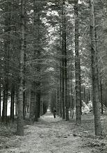 Photo: Staatsbos Met trots laat dhr. Brinksma zijn bos zien, de bomen die onder zijn leiding zijngeplant.