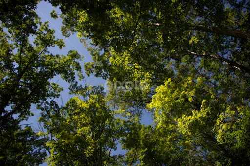 Southern Indiana Forest Canopy | Trees & Bushes | Nature Up Close