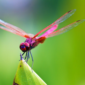 Dragonfly by Samson Calma - Animals Insects & Spiders ( macro, dragonfly, insect, closeup )