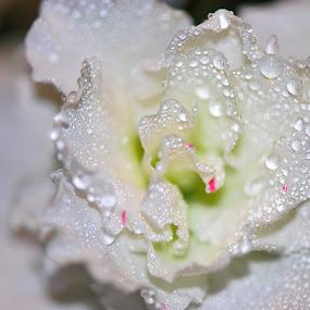 azalea with waterdrops by Paul Wante - Flowers Single Flower ( macro, white, azalea, photography, flower )