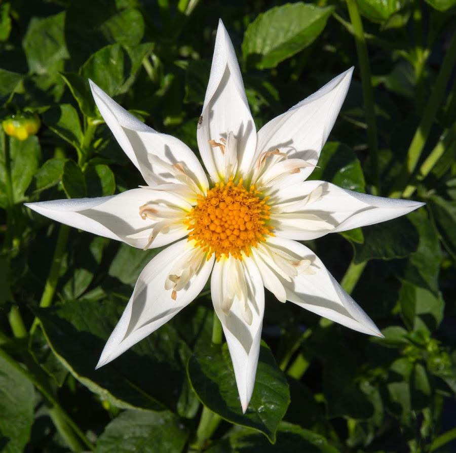 Like a White Star by Janet Marsh - Flowers Flower Gardens ( dalhia, white,  )