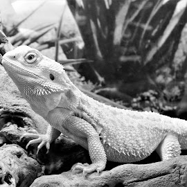 by Anthony Hutchinson - Animals Reptiles (  )