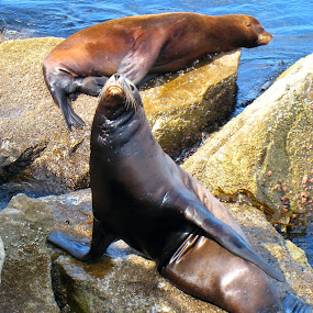 Sea Lions by Shanna Twomey - Animals Sea Creatures ( sea lion, ocean, rocks )