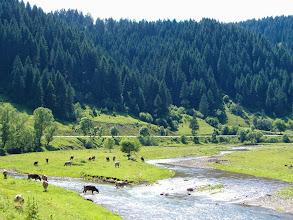 Photo: Pasoucí a občerstvující se krávy